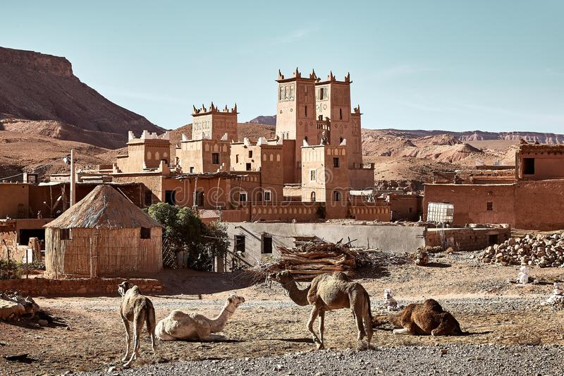 Beautiful shot of camels near a historical castle in Tamdakht, Morocco. A beautiful shot of camels near a historical castle in Tamdakht, Morocco royalty free stock photography