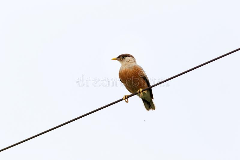 Chestnut starling. Beautiful shot of chestnut starling in sunny day stock photography