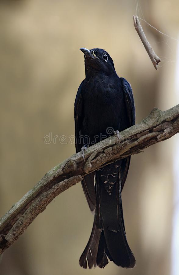 Drongo cuckoo stock images