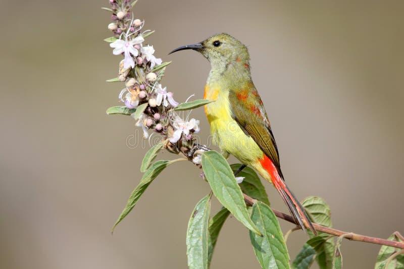 Fire-tailed sunbird royalty free stock photos