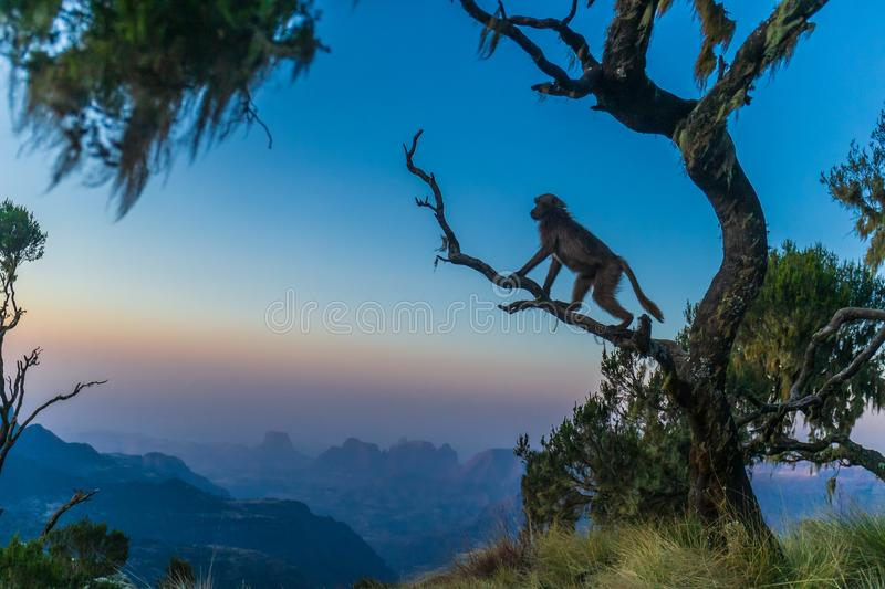 Beautiful shot of a Gelada baboon on a tree stock images