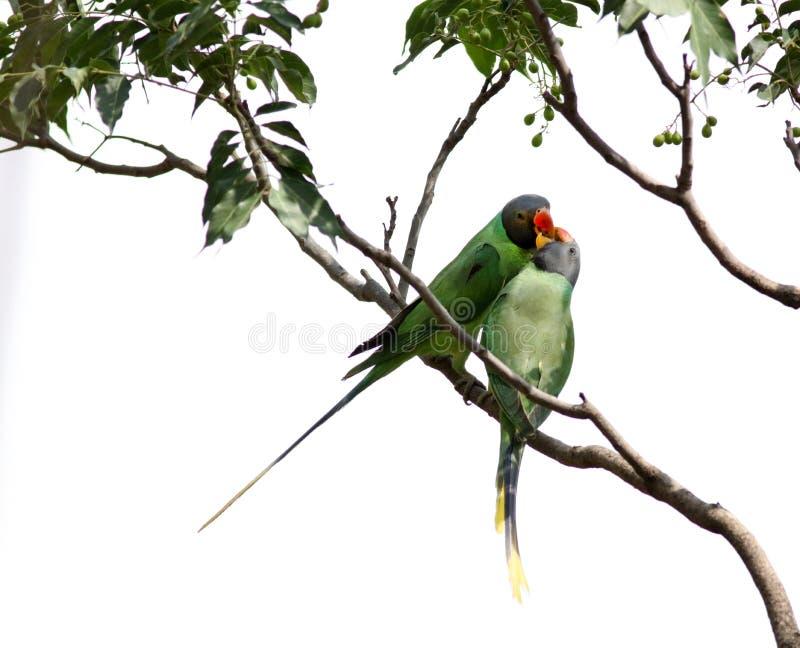 Grey headed parrots stock photography