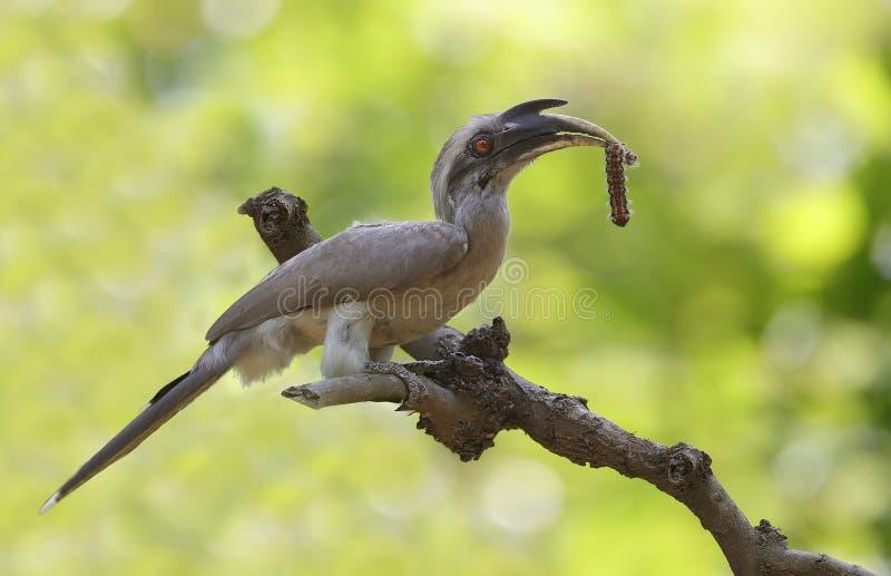 Grey hornbill royalty free stock photos