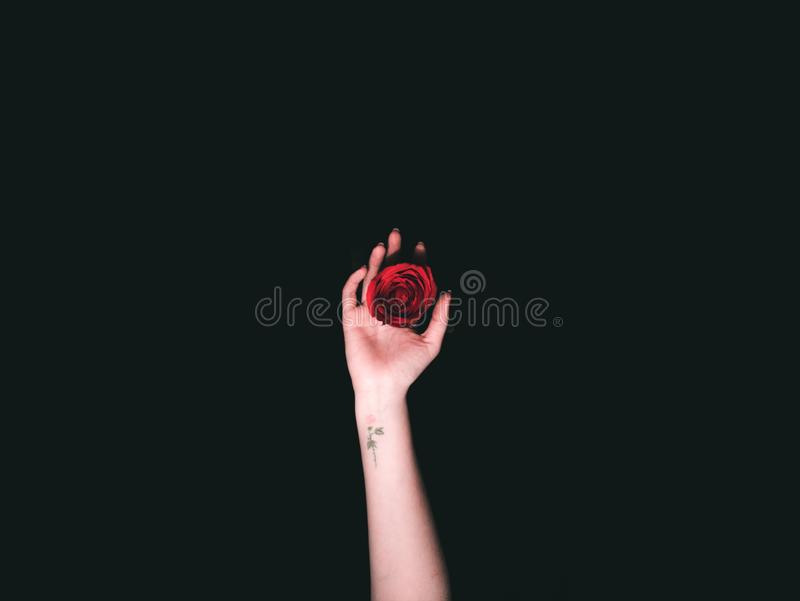 Beautiful shot of a hand with a little tattoo holding a dark red rose stock photo