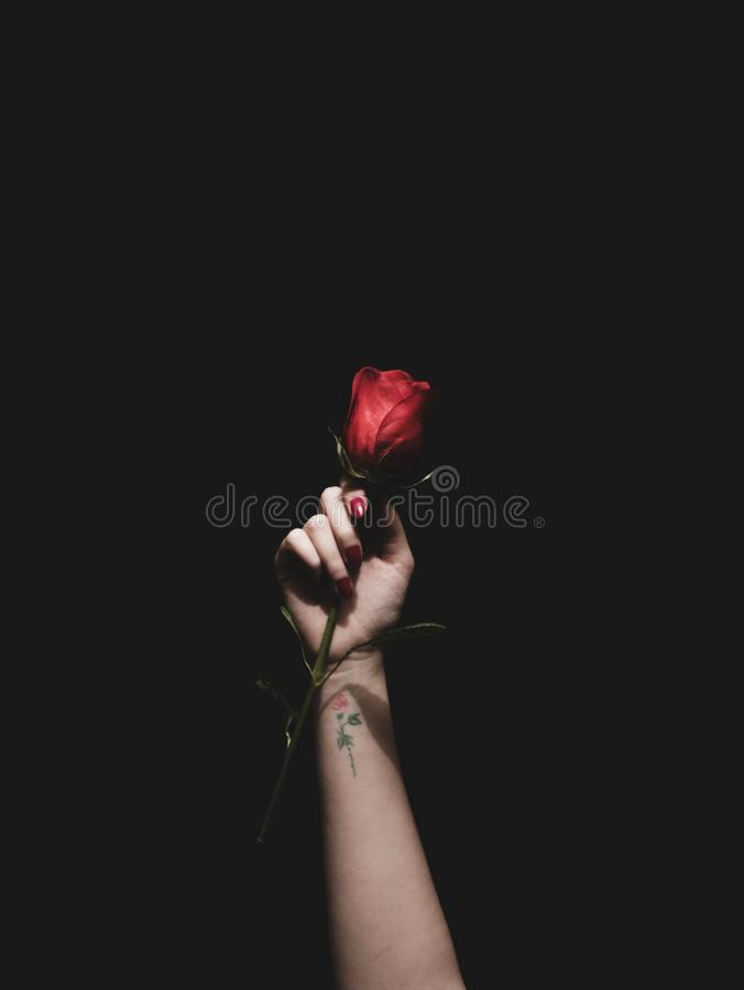 Beautiful shot of a hand with a little tattoo holding a dark red rose stock images