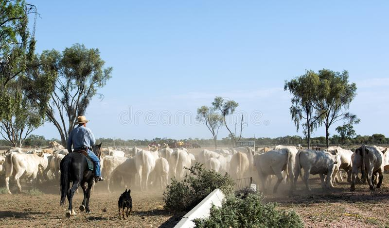 Beautiful shot of a herd of white cows and the shepherd on a horse stock photography