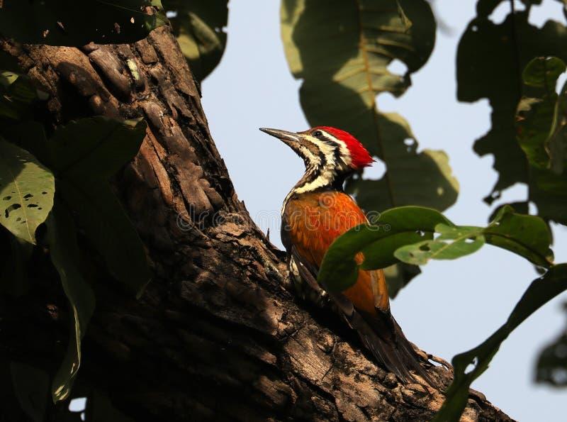 Himalyan flameback woodpecker stock image