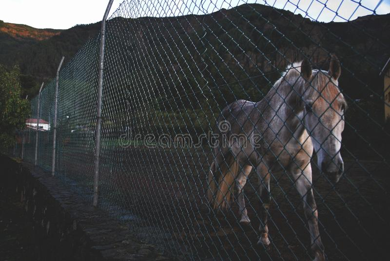 Beautiful shot of a horse behind a metal fence walking towards the camera. A beautiful shot of a horse behind a metal fence walking towards the camera royalty free stock images