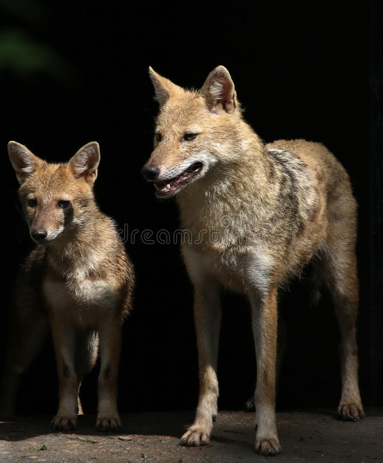 Indian jackal. Beautiful shot of indian jackal with young one royalty free stock photos