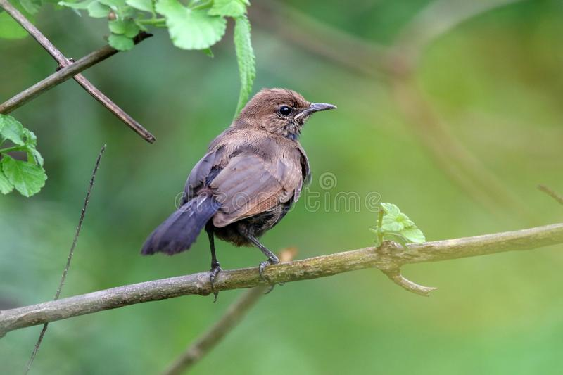 Indian robin royalty free stock image