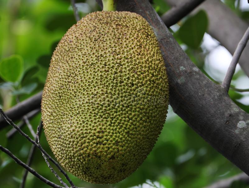 Jackfruit. Beautiful shot of jackfruit in morning light royalty free stock photography