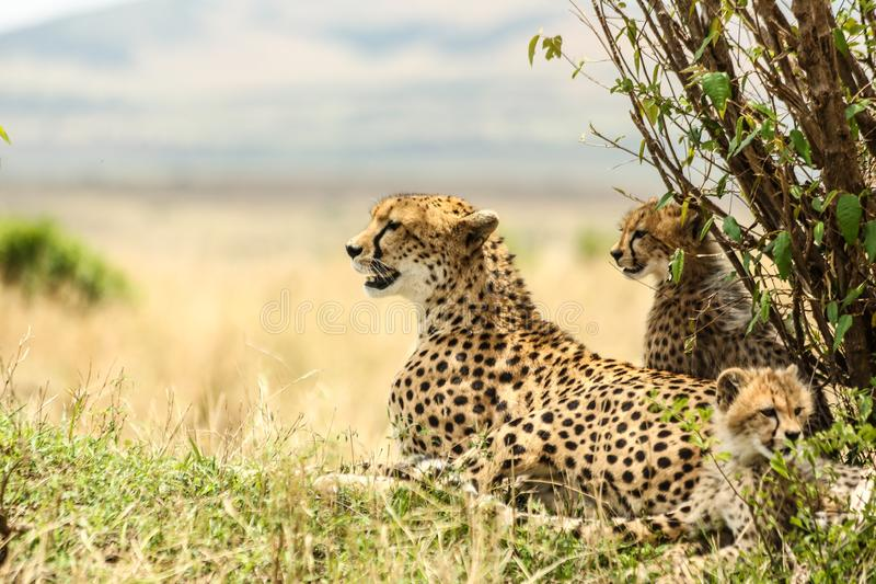 Beautiful shot of a leopard family in a grass field with a blurred background - family unity concept. A beautiful shot of a leopard family in a grass field with stock photos