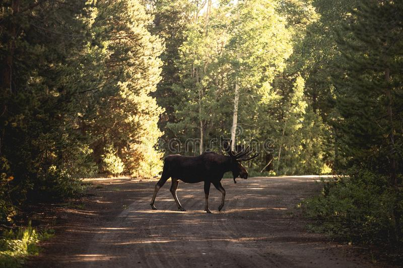 Beautiful shot of a moose or elk on a road near the woods royalty free stock photos