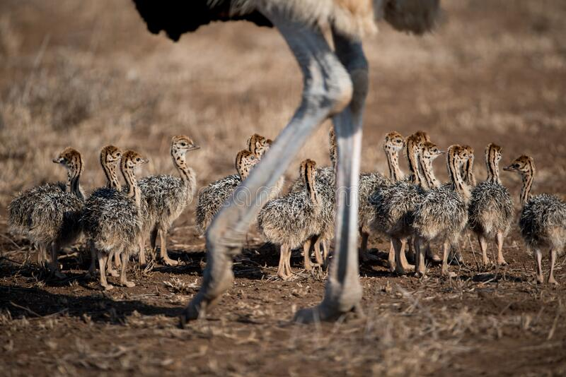 Beautiful shot of a mother ostrich with her babies. A beautiful shot of a mother ostrich with her babies stock photos