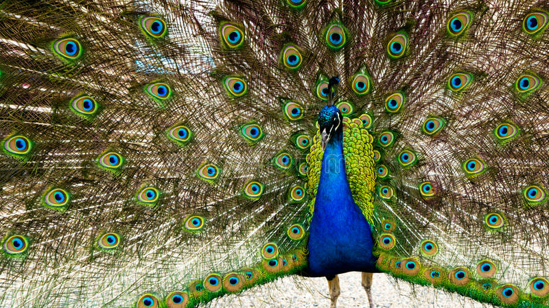 Beautiful shot of peacock with fully spread wing on display stock photography
