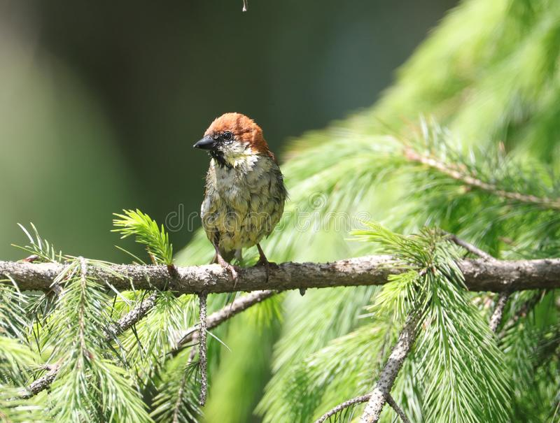 Russet sparrow royalty free stock photo
