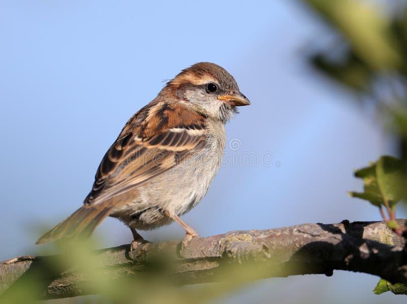 Russet sparrow stock photos