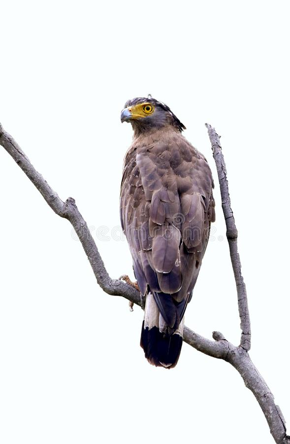 Serpent eagle. Beautiful shot of serpent eagle looking beautiful royalty free stock photos