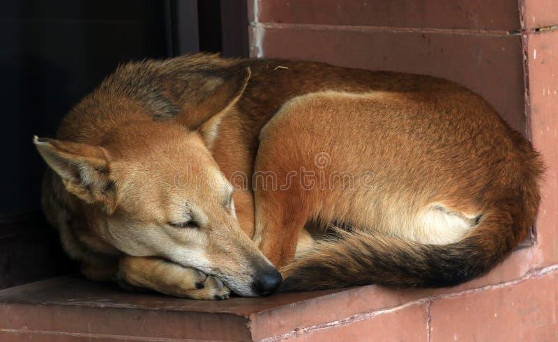 Sleeping dog. Beautiful shot of sleeping dog in winters royalty free stock photography