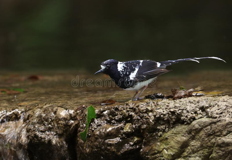 Spotted forktail royalty free stock images