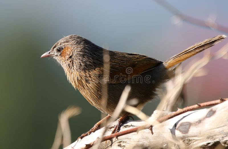 Streaked laughing thrush royalty free stock photography