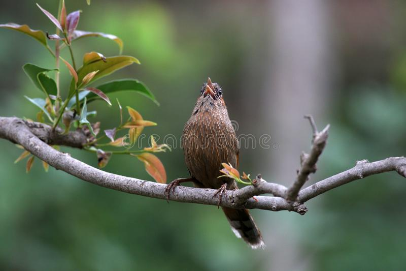 Streaked laughingthrush. Beautiful shot of streaked laughingthrush in wild stock photography