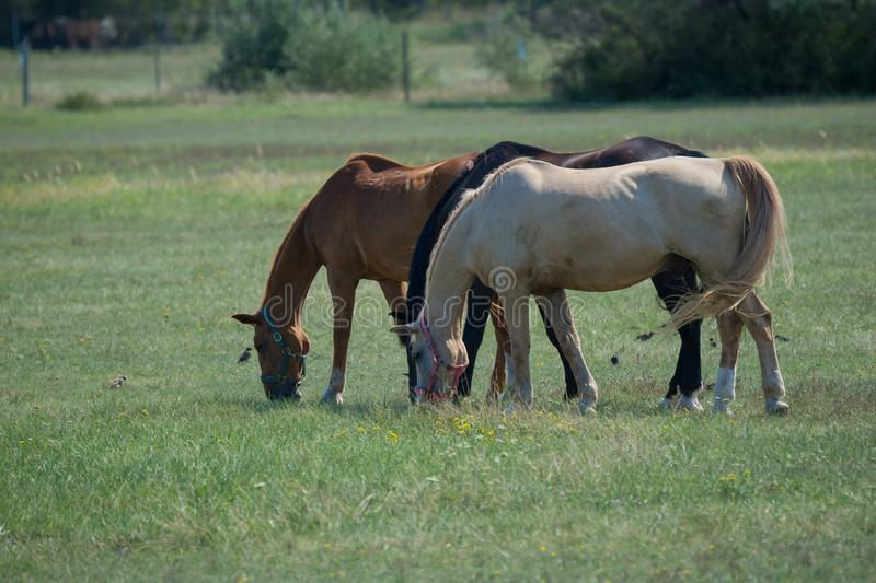 Beautiful shot of three brown, black and white horses standing next to each other and eating grass royalty free stock photos