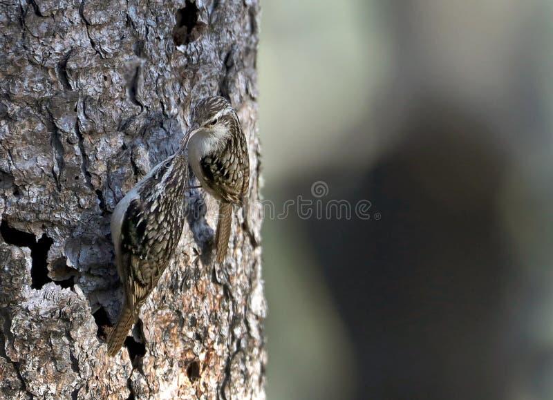 Treecreeper royalty free stock photo