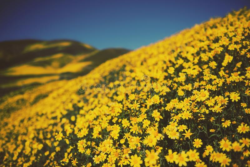 Beautiful shot of yellow flower hills with clear blue sky in the background royalty free stock images