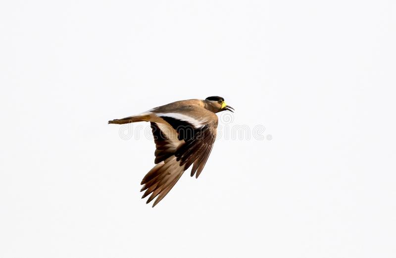 Yellow wattled lapwing stock photos