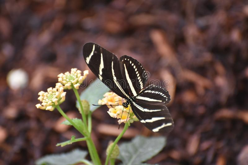 Beautiful Shot of a Zebra Butterfly in the Spring stock image
