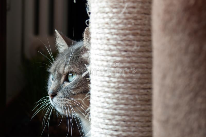 Beautiful shy cat hiding behind his scratching post. the light light on his big green eyes and long wiskers royalty free stock photography