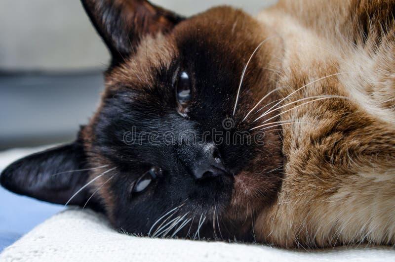 Beautiful Siamese Cat Gazes Lovingly At Camera stock photography