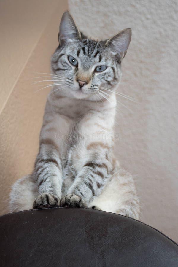 Beautiful Siamese cat looking down judging you stock photos