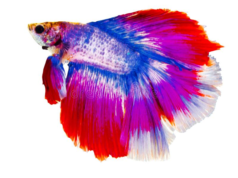 Beautiful Siamese fighting fish with big red and blue color tail swimming isolated on white background. royalty free stock photography