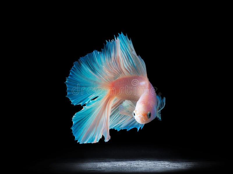 Beautiful siamese fighting fish on black royalty free stock image