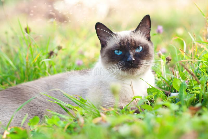 Beautiful siamese purebred cat with blue eyes stock image