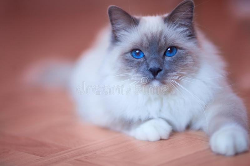 Beautiful siberian cat with blue eyes on the trendy living coral backround stock image