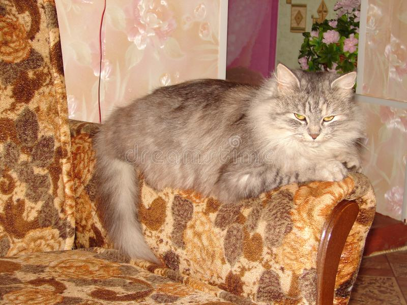 Beautiful Siberian cat on the couch. A beautiful grey fluffy Siberian cat is lying on a brown sofa. Yellow cat eyes are covered stock photos