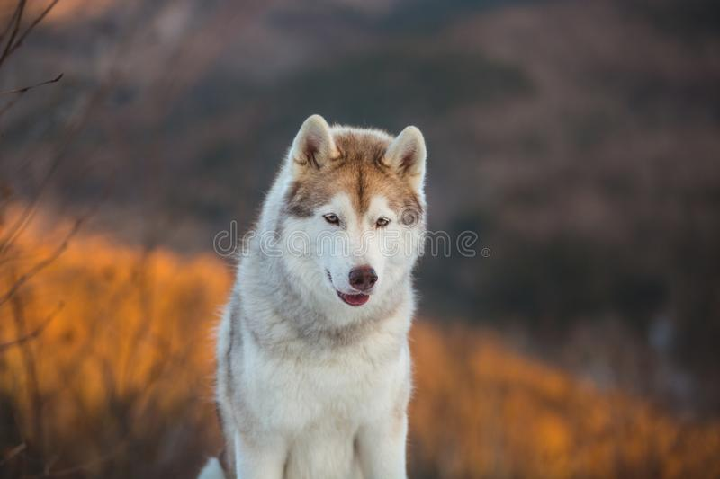 Beautiful Siberian Husky dog sitting on the snow in the winter forest at sunset on mountain background. Profile portrait of beautiful Siberian Husky dog sitting royalty free stock photography