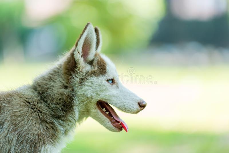 Beautiful Siberian Husky Puppy with tonuge handing. Beautiful blue eyed female Siberian husky puppy looking right side with tongue handing in isolated background royalty free stock photography