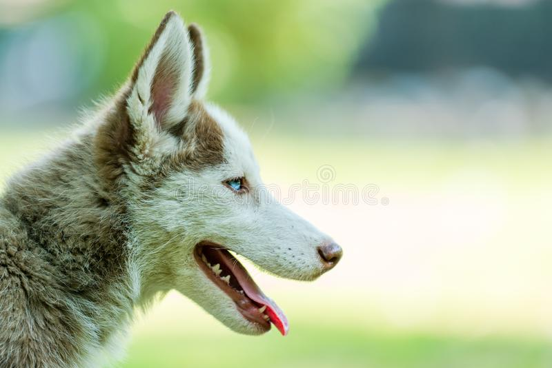 Beautiful Siberian Husky Puppy with tonuge hanging. Beautiful blue eyed female Siberian husky puppy looking right side with tongue hanging in isolated background royalty free stock image