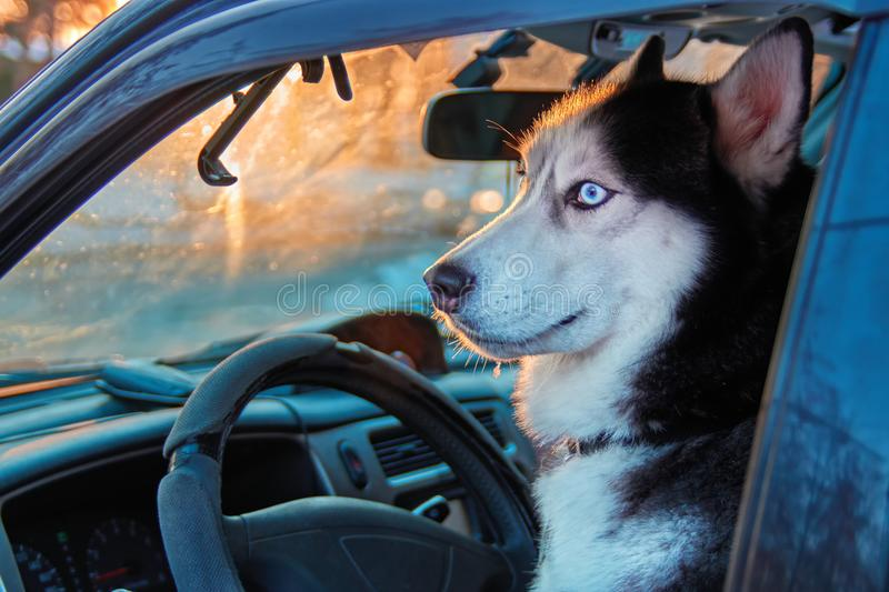 Beautiful Siberian husky sitting in car and looks outside. Noble dog with blue eyes sitting in the driver`s seat of the car. stock photography