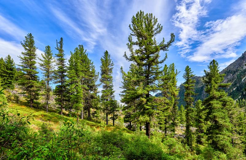 Beautiful Siberian pines on gentle slope royalty free stock photography