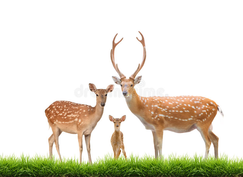 Beautiful sika deer. Family with green grass isolated on white background stock image