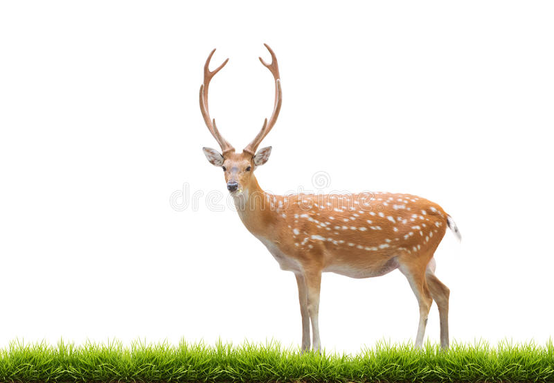 Beautiful sika deer. Beautiful male sika deer with green grass isolated on white background stock photography