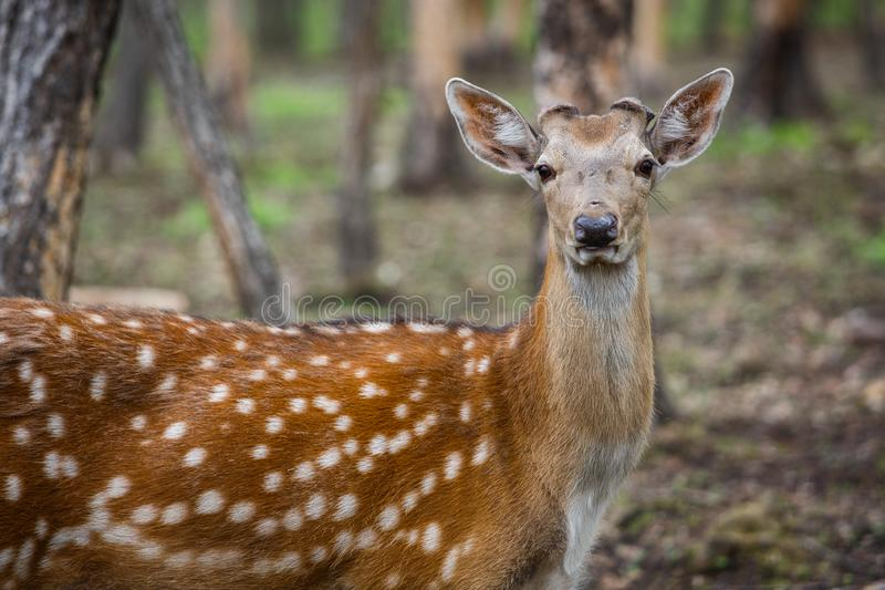 Beautiful sika deer in the summer forest.  royalty free stock image