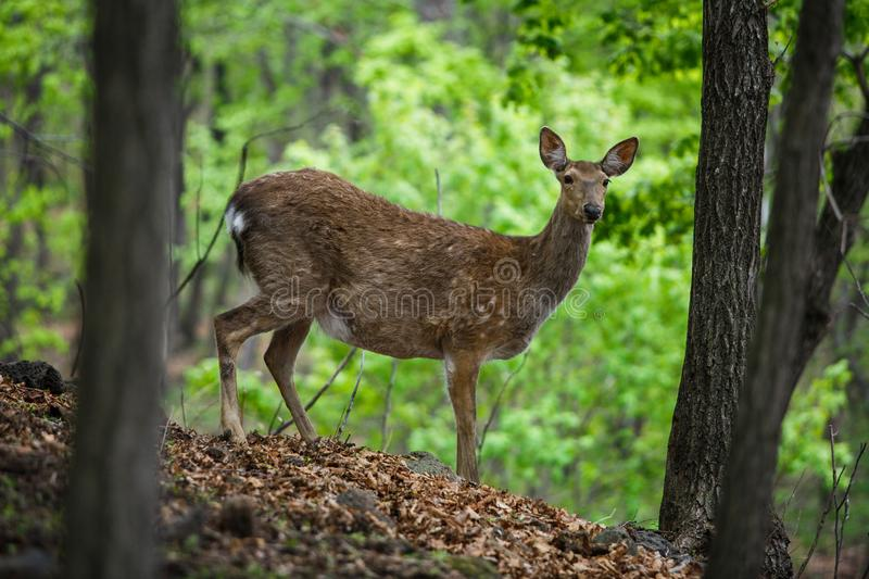 Beautiful sika deer in the summer forest.  stock photo