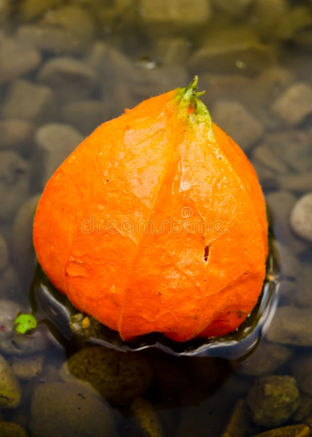 A blossom of a strawberry groundcherry is floating on the dark surface of the water. A beautiful singel flower of a ground cherry swims in the water. a pretty royalty free stock photos