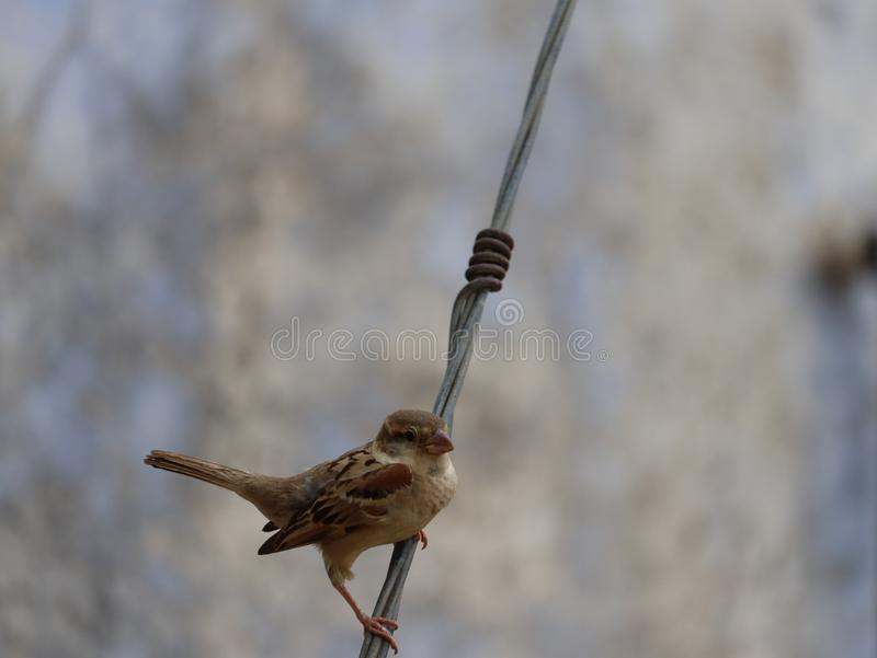 Singing sparrow image royalty free stock images